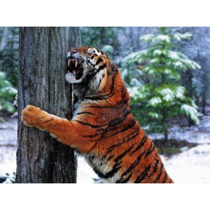 Q1914 Картина по номерам тигр точит зубы 40x50 см