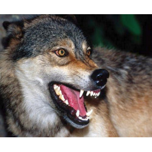 GX29420 Волк картина по номерам  40х50 см