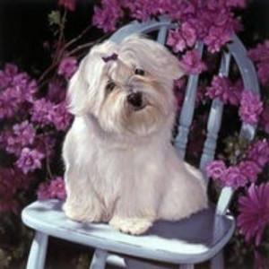"GX6944 ""Белая собачка на стуле""  Размер 40x50"